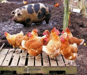 Кури і свині :)