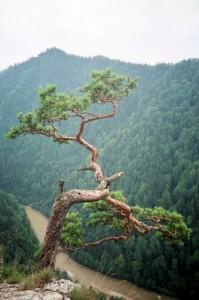Реліктова сосна на Sokolicy. Пенінський національний парк