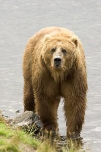 Бурий ведмідь у Татрах