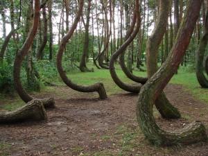 Кривий ліс в Польщі