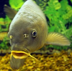 Риба по-польськи